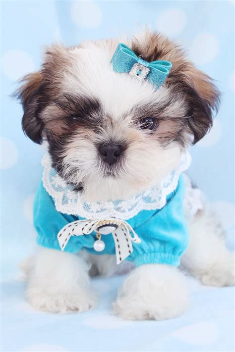 small shih tzu 64 best shih tzu puppies images on baby shih
