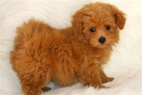 brown maltipoo puppies maltipoo maltese poodle puppy poodles brown and puppys
