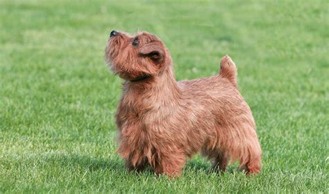 Do Norfolk Terriers Shed by Norfolk Terrier Breed Information