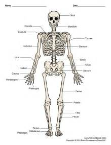 Labeled pictures of the human skull archives human anatomy chart