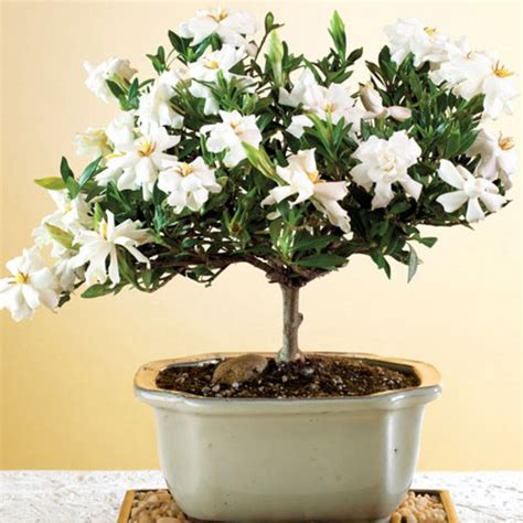 grow  gardenia bonsai bonsai tree care