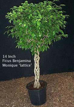 pruning ficus trees