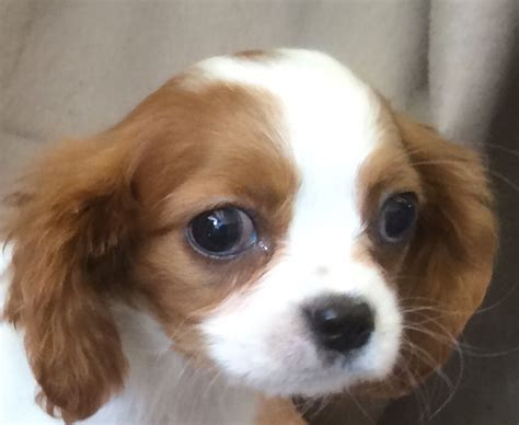 cavalier king charles spaniel puppies price cavalier king charles spaniel breeder breeders puppies autos post