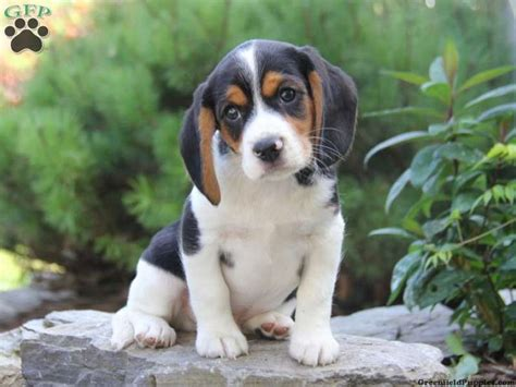 beagle puppies for sale in pa pin by greenfield puppies on mixed breeds