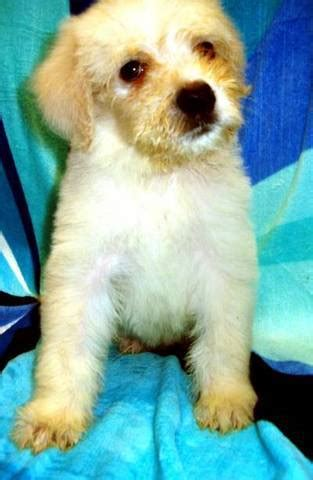 retriever doodle puppies for sale nz for sale adoption generation goldendoodle pups for