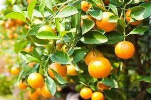 citrus fruit tree how to avoid yellow leaves on citrus trees sumogardener