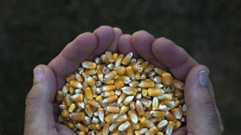 Pakan Ternak Impor Jagung bulog mau impor jagung dari thailand dan malaysia bea