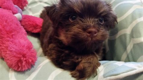 havanese puppies idaho california havanese puppies angie s havanese puppies for sale
