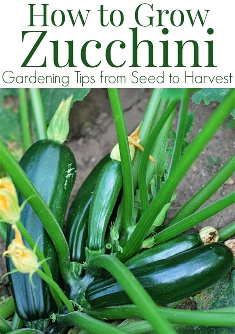 how to a grown how to grow zucchini