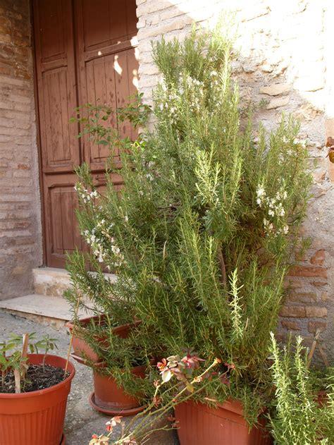 Rosmarin Garten Pflanzen by Rosmarin Herkunft Und Anbau Im Garten Sowie Im Topf