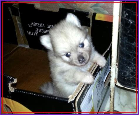 pomeranian husky for sale tags pomeranian husky for sale tulsa pomeranian husky mix oklahoma animals