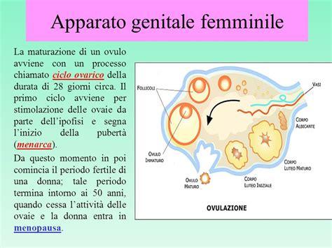 apparato genitale femminile interno affettivita e riproduzione ppt scaricare