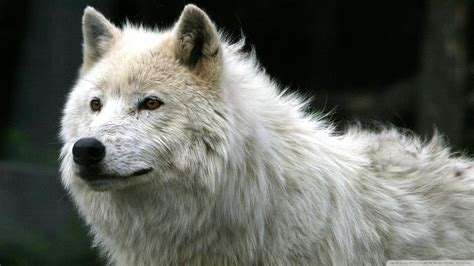 white wolf and black wolf 1600x1200 wallpapers wolf download white wolf wallpaper 1920x1080 wallpoper 448775