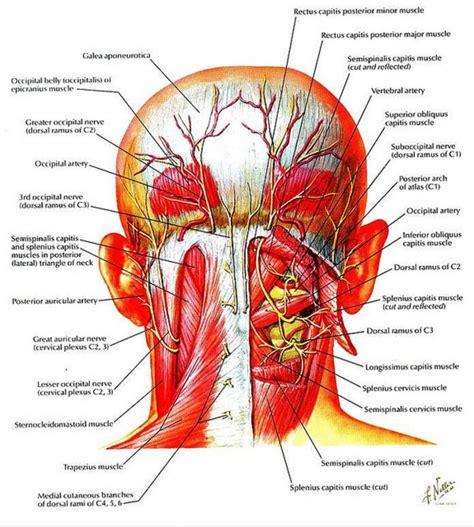 diagram of the anatomy back of diagram anatomy organ
