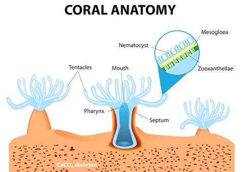 coral bleaching diagram the symbiotic relationship between algae and coral the