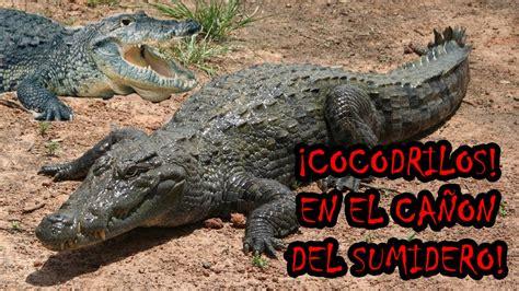 el cocodrilo al que cocodrilos en el ca 241 243 n del sumidero chiapas m 233 xico 6 youtube