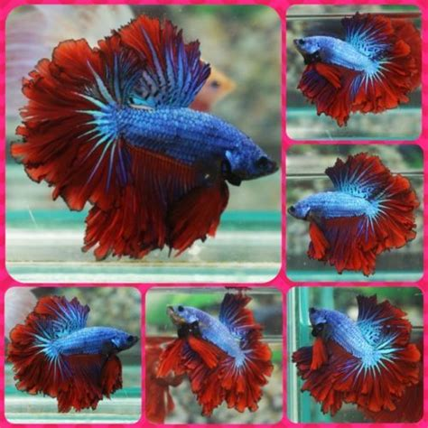 Do Betta Fish Need Light by Live Betta Fish Light Blue Apache Feathertail