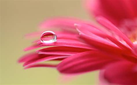 wallpaper petals droplet macro hd  flowers