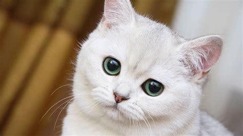 wallpaper cat white 1366x768 cute white cat close up desktop pc and mac wallpaper