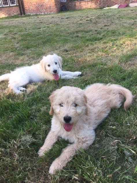 goldendoodle puppies for sale in kent lavishly reared goldendoodle puppies ashford kent