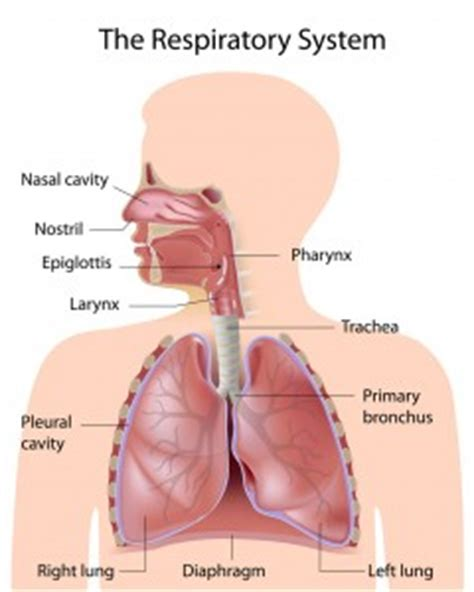 Anatomy Of A Child S Lung Pediatric Pulmonologists | anatomy of a child s lung pediatric pulmonologists