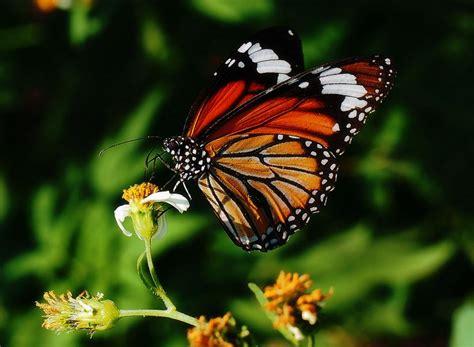 imagenes con mariposas related pictures mariposa monarca mariposas car interior