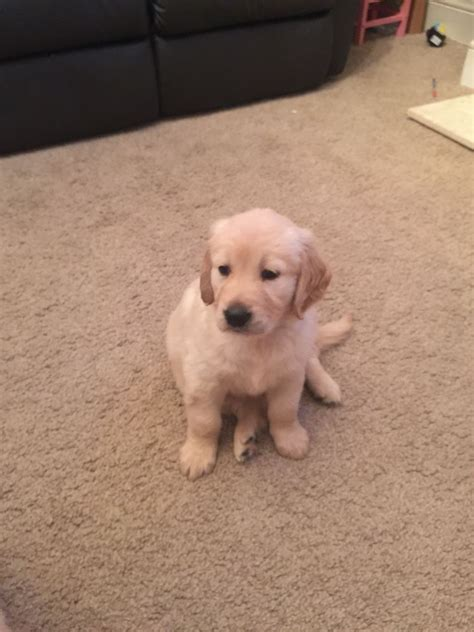 golden retriever with boy golden retriever boy puppy portsmouth hshire pets4homes