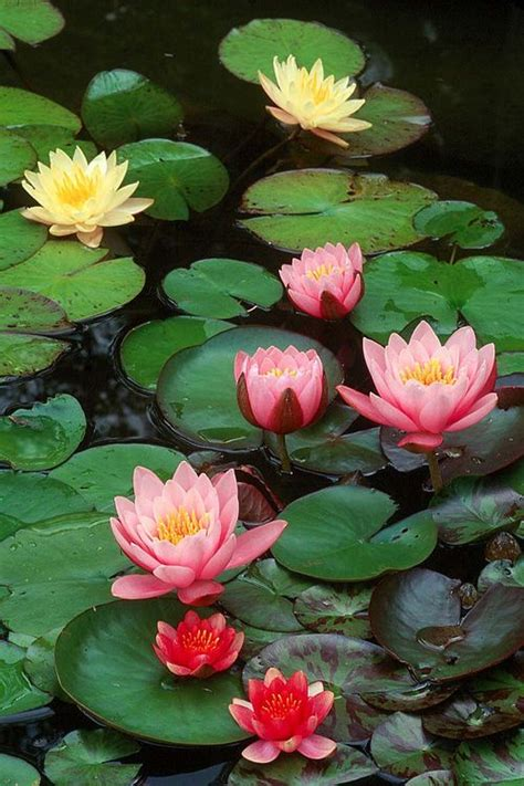 lotus flower   metaphor  buddhisma metaphor