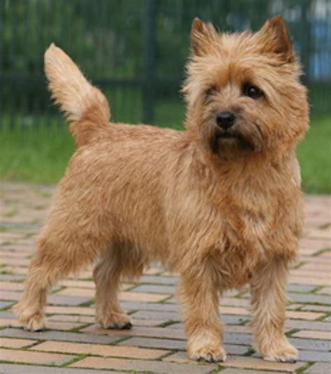 boston terrier puppies for sale cincinnati ohio terriers for sale ohio