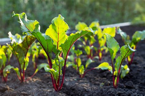 grow   beetroot small green