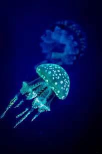 Bioluminescent Jellyfish L by Best 25 Bioluminescent Jellyfish Ideas On