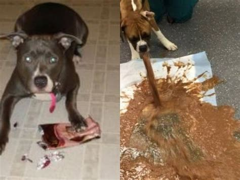 what happens if dogs eat chocolate here is what happens if a eat a chocolate don t give a chocolate to your dogs