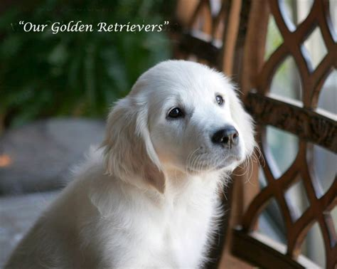 white golden retriever california best 25 white golden retrievers ideas on golden retrievers white