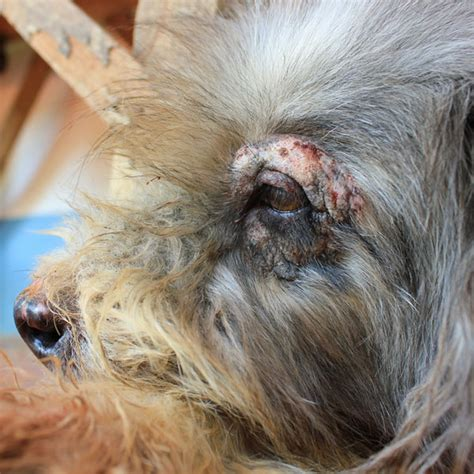 how to tell if a puppy will hair what causes hair loss in dogs