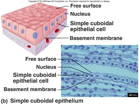 simple squamous epithelium basement membrane www - Basement Membrane Epithelium