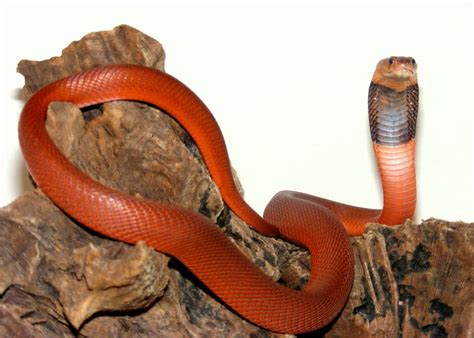 snakes in the world red spitting cobra snakes