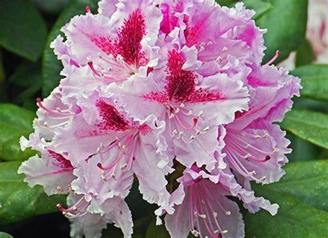 fiori di rododendro fiori autunnali e invernali il rododendro ville e giardini