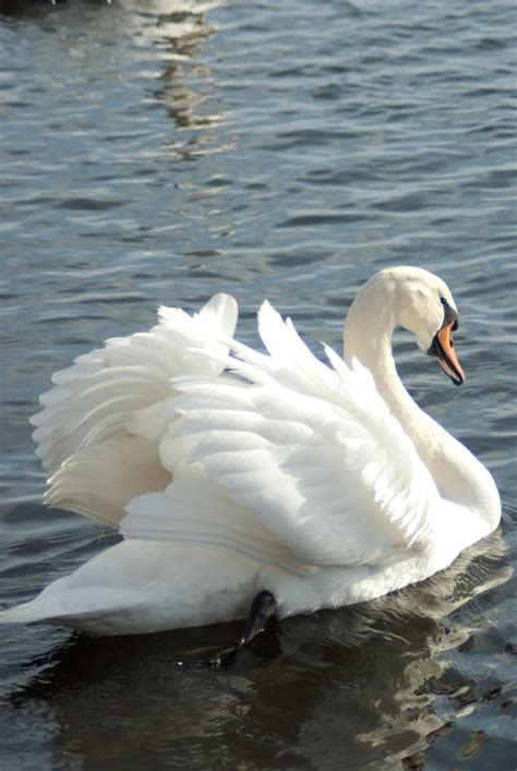 swans and water birds 11 by steppelandstock on deviantart