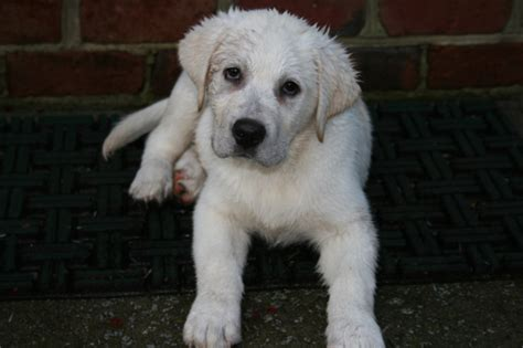 white lab puppies for sale in nc white labrador retriever puppies nc photo