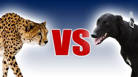 fastest dogs cheetah vs greyhound world s fastest in motion slo mo 29 earth