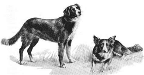 disc thrills  paws   mcnab shepherd alexander flora  mcnab shepherd story