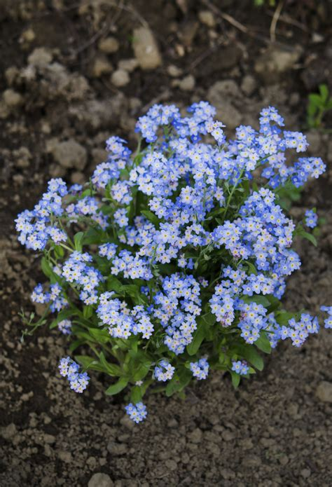 Garden Flower Seeds When To Plant Forget Me Nots Tips On Planting Forget Me Nots From Seeds