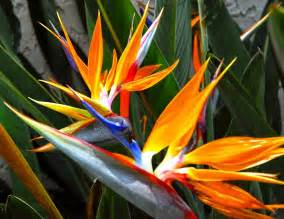 how to overwinter bird of paradise plants the garden of eaden