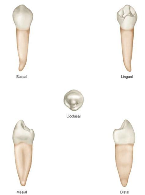Maxillary Premolar The Permanent Mandibular Premolars Dental Anatomy