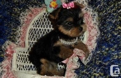 teacup yorkie breeders ontario fresh teacup terrier puppies for for sale in pickering ontario