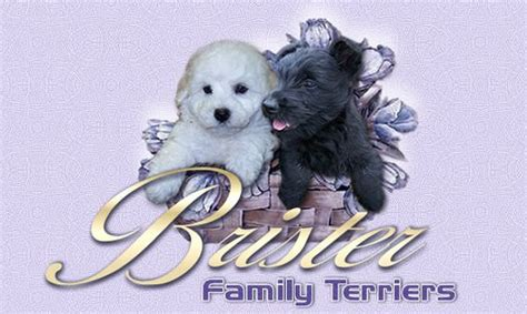 brister family terriers bichon frise scottish terriers and puppies for sale on