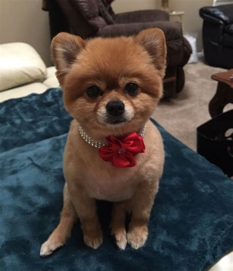 how to groom a pomeranian puppy pomeranian groomer wags to riches grooming