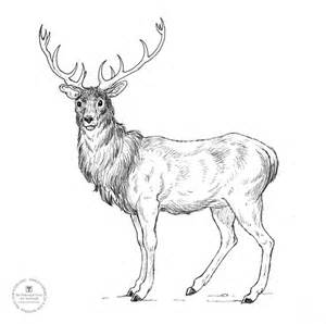 Sketch of a red stag coloring pages