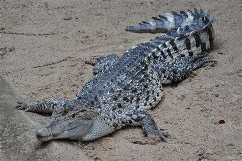 hocico de cocodrilo en cartulina zootografiando mi colecci 211 n de fotos de animales