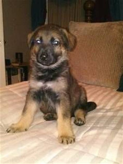craigslist puppies 1000 images about puppies on akc german shepherd gsd puppies and pets